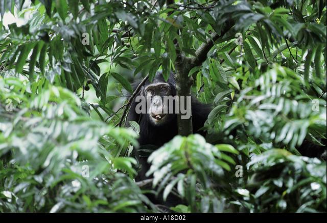 Wild chimpanzee Chambura Gorge Uganda - Stock Image