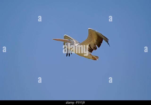 White Pelican (Pelecanus onocrotalus) in flight - Stock Image