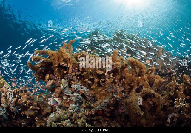 Fish dream in coral reef, Raja Ampat, west Papua, Indonesia - Stock Image