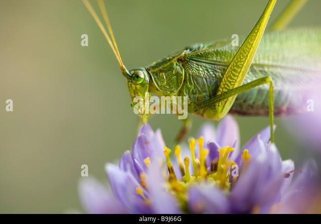 Macro image of grasshopper on flower - Stock Image