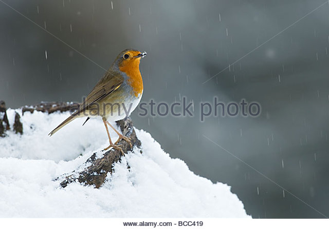 ROBIN IN SNOWFALL - Stock Image
