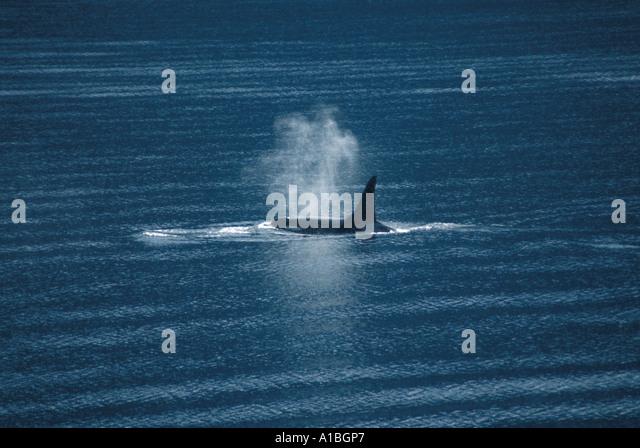 Alaska orca exhaling - Stock Image