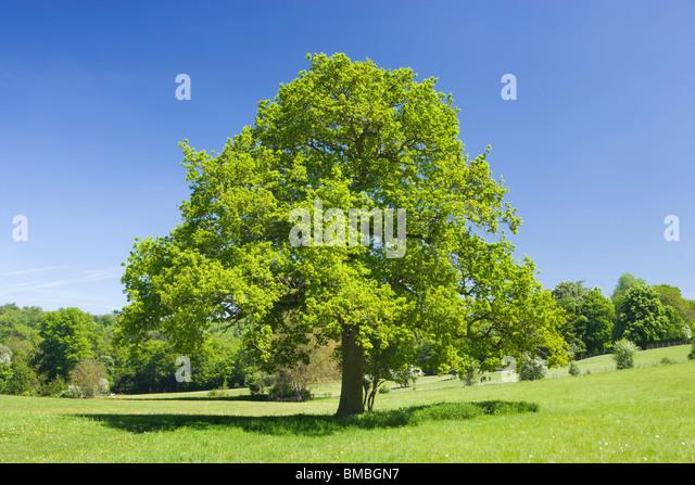 Oak tree in field, Ranmore Common, Surrey, UK - Stock Image
