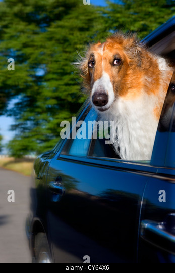 Borzoi dog looking out of car window - Stock Image