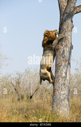A male lion climbing a Marula tree to scavenge the remains of a leopard kill - Stock Image