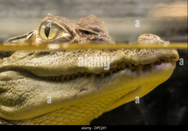Crocodile in water. Underwater look - Stock Image