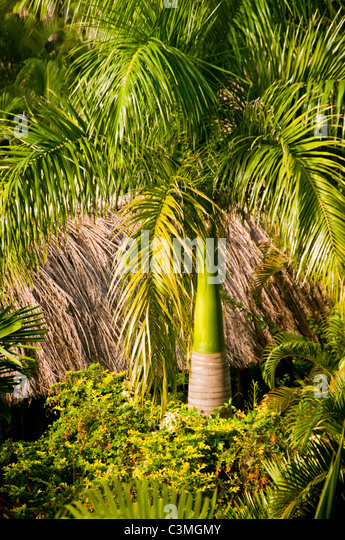 Royal Palm Tree in tropical gardens, Outrrigger On the Lagoon Resort, Coral Coast, Vita Levu, Fiji - Stock Image