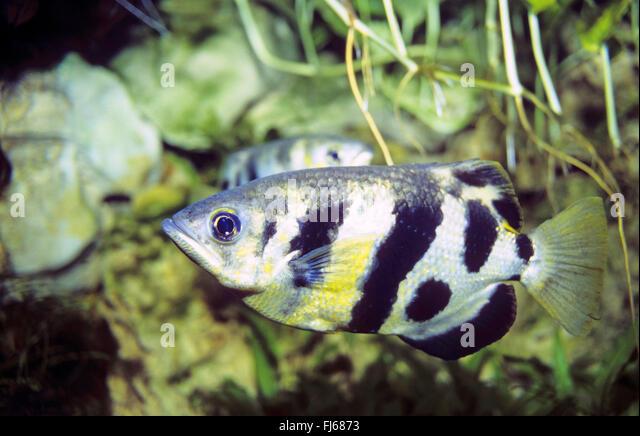 Banded archerfish (Toxotes jaculatrix, Toxotes jaculator, Labrus ...