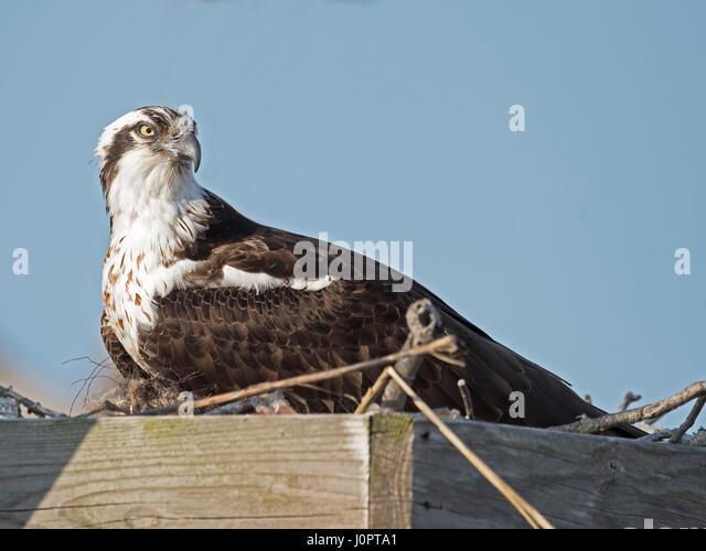 Female Osprey in Nest - Stock Image