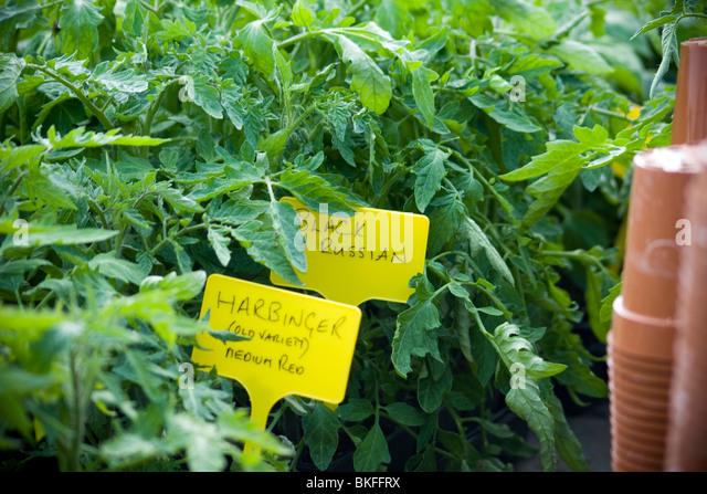 Harbinger and Black Russian Tomato Plants - Stock Image