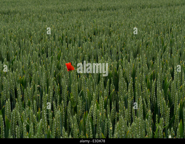 Poppy in a cornfield in a valley of the South Downs, Sussex, England, UK - Stock Image