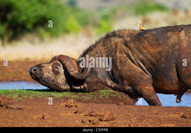 Cape Buffalo (Syncerus caffer) in Kenya - Stock-Bilder
