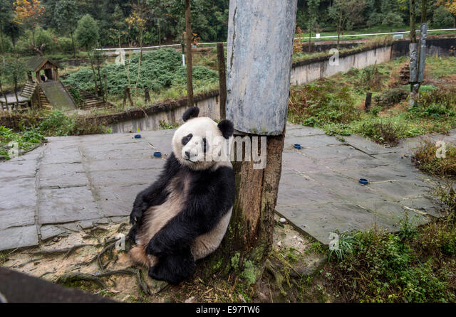 An adult captive panda in Ya'an, Sichuan, China. (Photo by Ami Vitale) - Stock Image