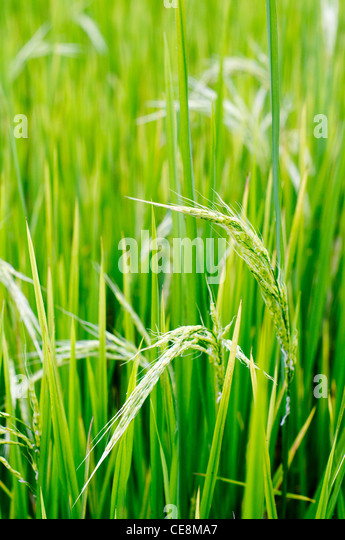 a close up of rice plant, in philippines. - Stock-Bilder