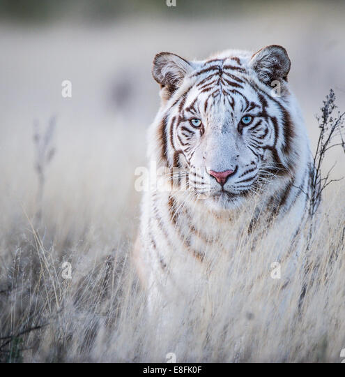 South Africa, Tiger Canyons, Tiger in white - Stock Image