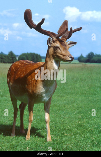 fallow deer (Dama dama, Cervus dama), stag - Stock Image