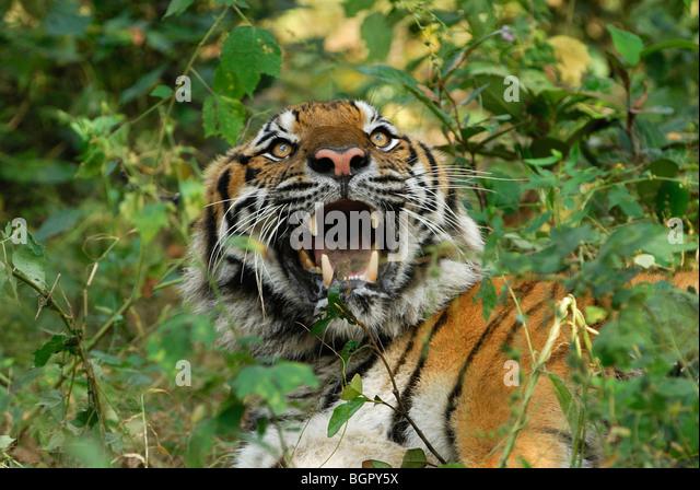 Tiger (Panthera tigris), adult growling, Thailand - Stock Image