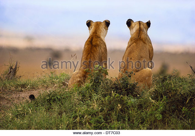 Lionesses watching for prey Panthera leo Masai Mara Reserve Kenya Masai Mara Reserve Kenya - Stock Image