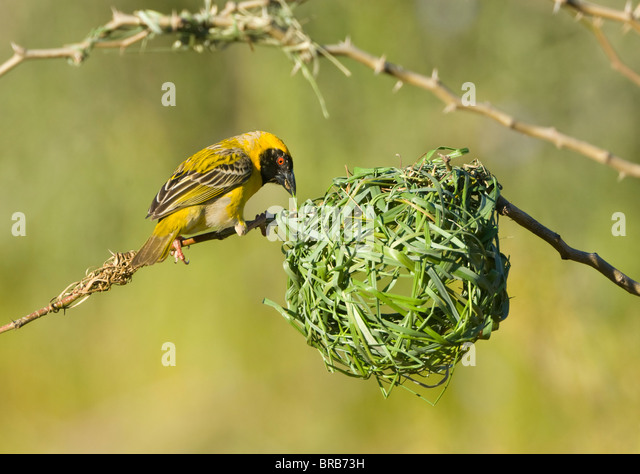 Southern Masked Weaver Ploceus velatus Cederberg Mountains Namaqualand Northern Cape South Africa - Stock Image