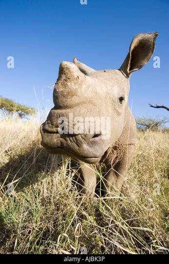 Front View of Baby White Rhino (Ceratotherium simum) - Stock Image