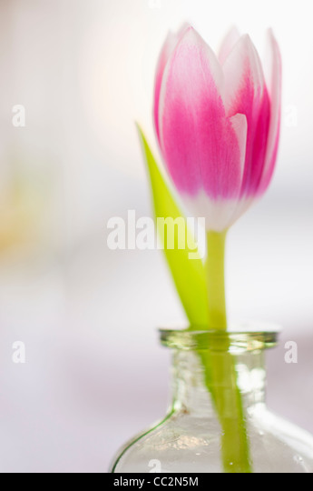 Studio shot of pink tulip in glass vase - Stock Image