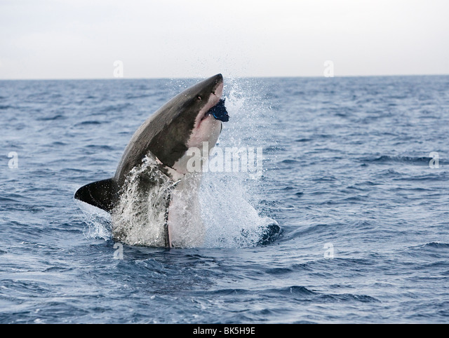 Great white shark (Carcharodon carcharias), breaching to decoy, Seal Island, False Bay, Cape Town, South Africa, - Stock Image