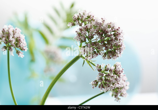 Valerian flowers (Valeriana) - Stock Image