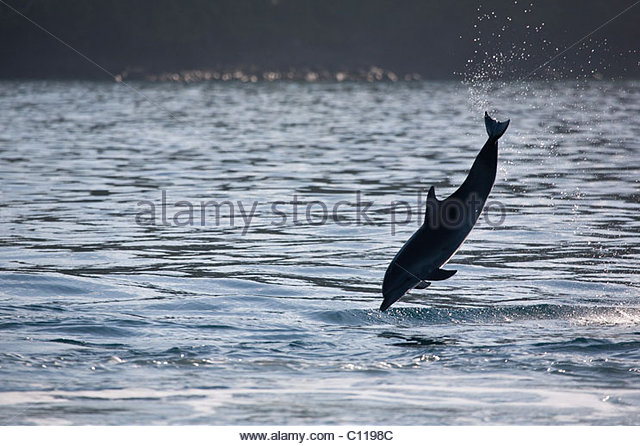 Jumping Spotted Dolphin near isla Coiba, UNESCO site, on the Pacific coast of Veraguas province, Republic of Panama. - Stock Image