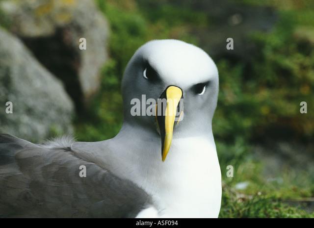 Southern Buller s albatross mollymawk Diomedea bulleri bulleri Thalassarche bulleri Adult Solander Island New Zealand - Stock Image