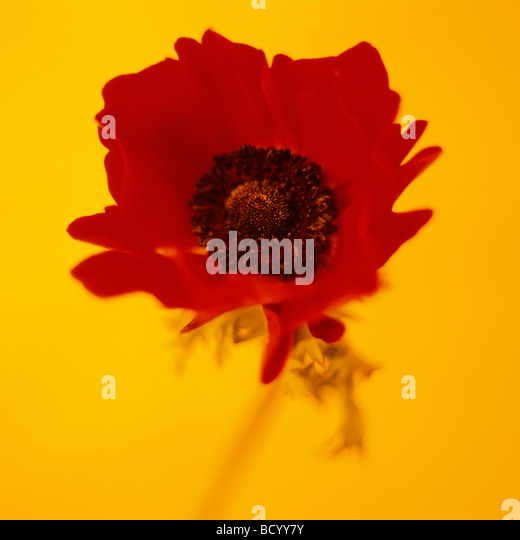 vibrant still life of an anemone coronaria poppy anemone fine art photography Jane Ann Butler Photography JABP302 - Stock Image