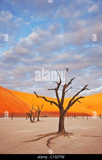Dead Acacia tree Sossusvlei in the Namib desert. Namib-Naukluft N.P, Namibia - Stock Image