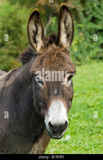 Donkey (Equus asinus asinus), Schwaz, Tyrol, Austria, Europe - Stock Image
