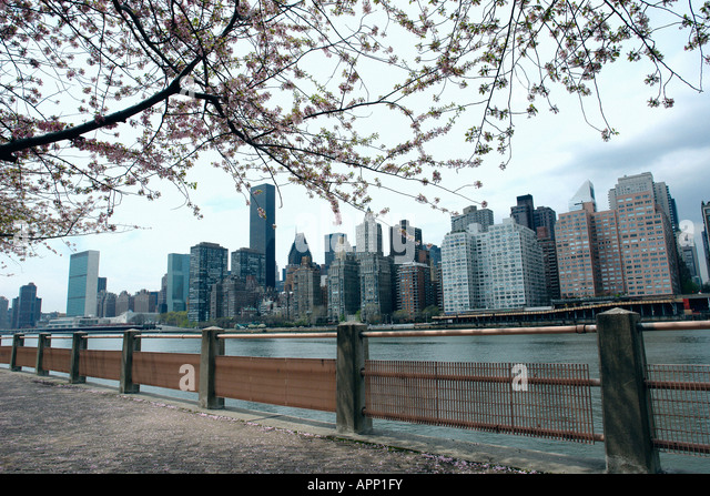 Cherry Blossoms and the New York City Skyline as Viewed from Roosevelt Island - Stock Image
