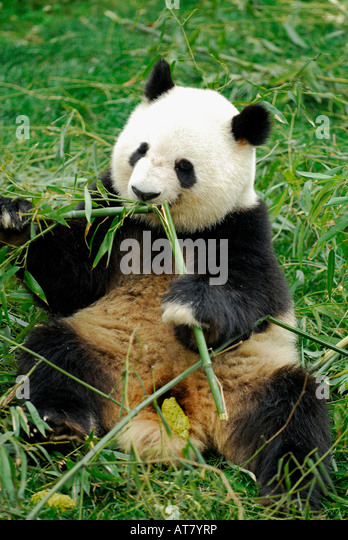 Giant Panda feeding on bamboo shoot at Chengdu Research Base of Giant Panda Breeding Sichuan China - Stock Image