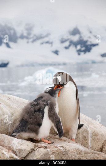 Gentoo penguin feeding chick, Neko Harbour, Antarctic Peninsula, Antarctica, Polar Regions - Stock Image