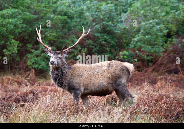 Red Deer Stag, Glen Etive, Scotland - Stock Image