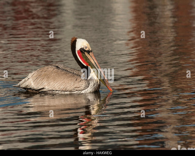 Brown Pelican in Breeding Plumage in Warm Light - Stock Image