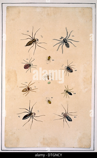 English spiders by Eleazar Albin - Stock Image