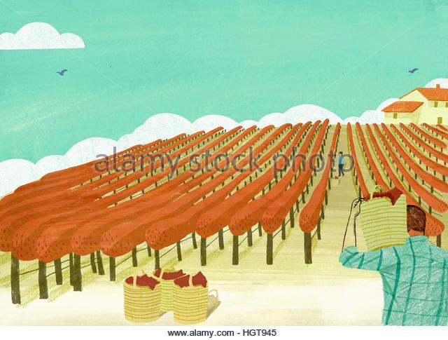 Man and woman picking grapes in vineyard - Stock-Bilder