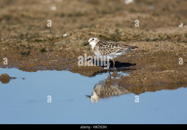 Little Stint looking upwards for predators - late summer at Deepdale Marsh Norfolk - Stock-Bilder