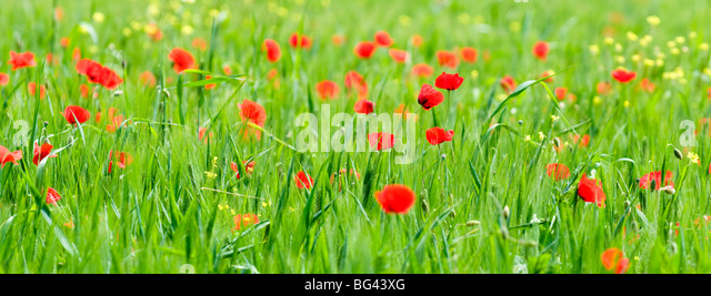 Happy poppies in Valle de Orcia, Tuscany, Italy - Stock Image