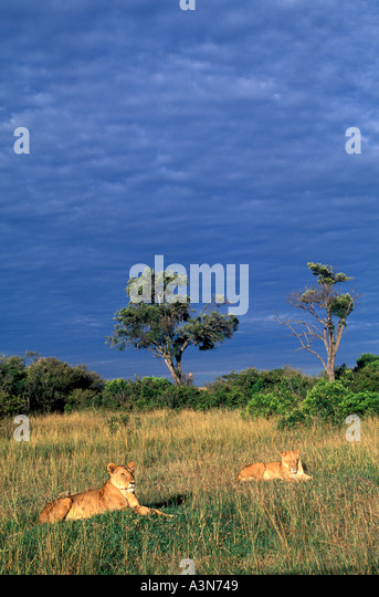 Kenya Lions in early dawn on the Masai Mara - Stock Image
