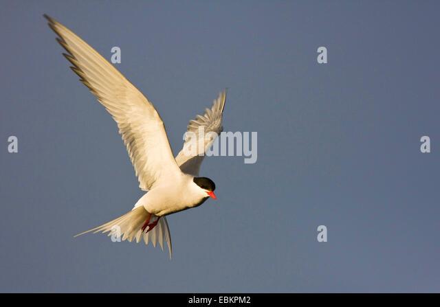 arctic tern (Sterna paradisaea), in flight, United Kingdom, Scotland, Fair Isle, Shetland-Inseln - Stock Image