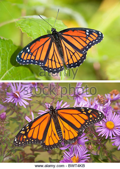 the-viceroy-butterfly-top-image-resemble