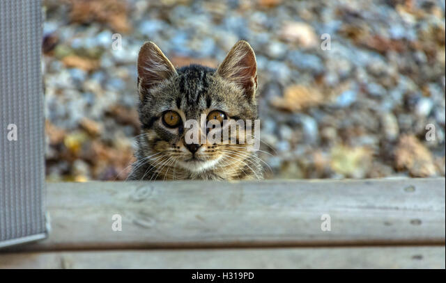 Timid feral tabby cat looking at the camera, scared, autumn colours colors behind - Stock Image