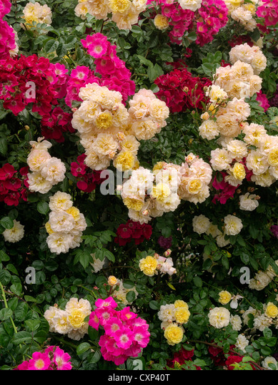 Wall of climbing roses. Heirloom Gardens. St. Paul, Oregon - Stock Image