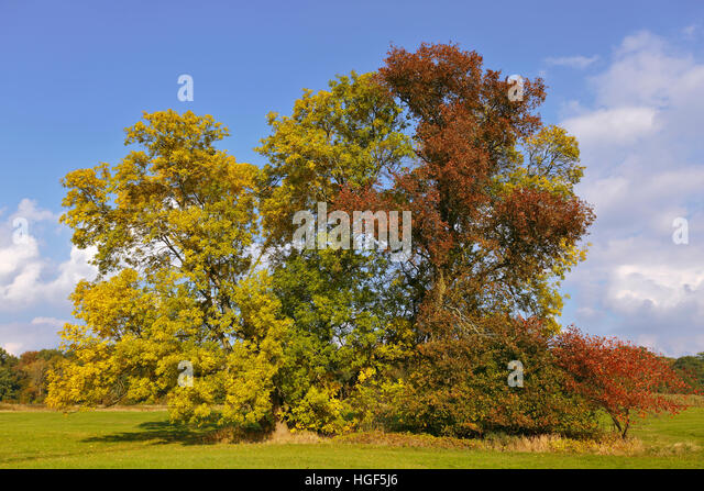 Grove of trees with autumn colors, Middle Elbe Biosphere Reserve, Dessau, Saxony-Anhalt, Germany - Stock Image