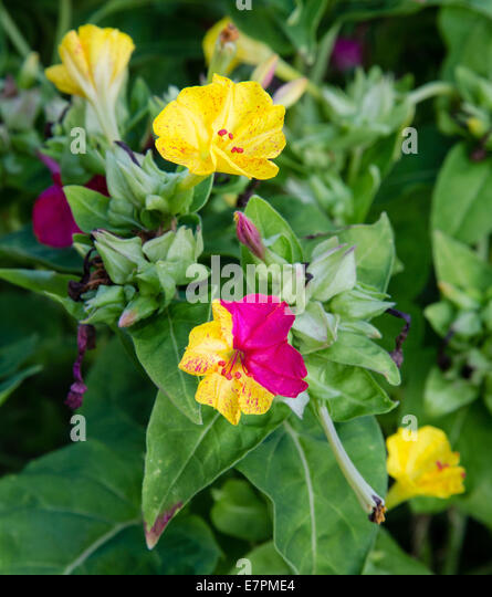 Two tone flowers in red and yellow on the same blossom - Stock Image