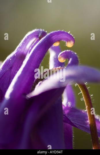 aquilegia vulgaris Rununculaceae - Stock Image