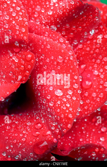 rose (Rosa spec.), Rose with water drops - Stock Image